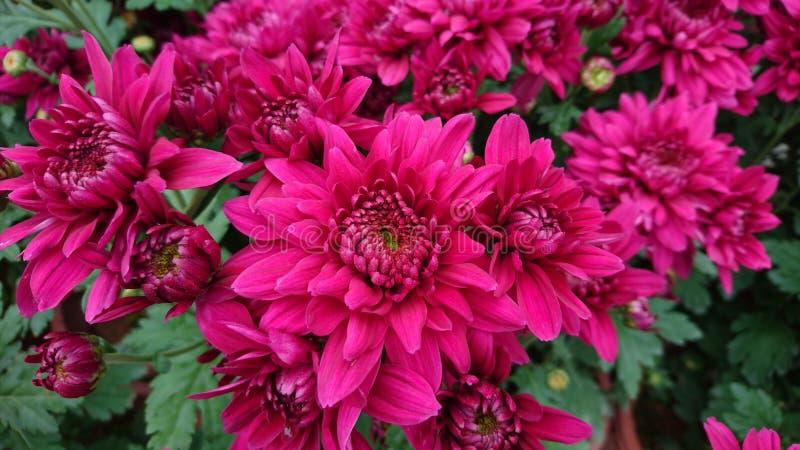 Schöne Nahaufnahme der roten Chrysanthemen stockfotografie