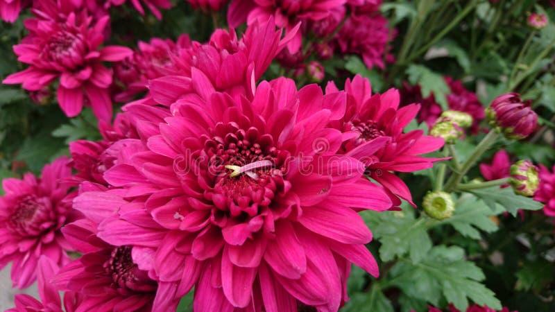 Schöne Nahaufnahme der roten Chrysanthemen lizenzfreies stockbild