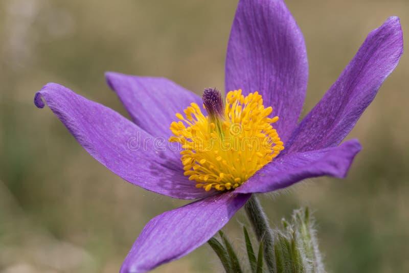 Schöne Nahaufnahme einer pasque Blume - Anemone Pulsatilla stockfotografie
