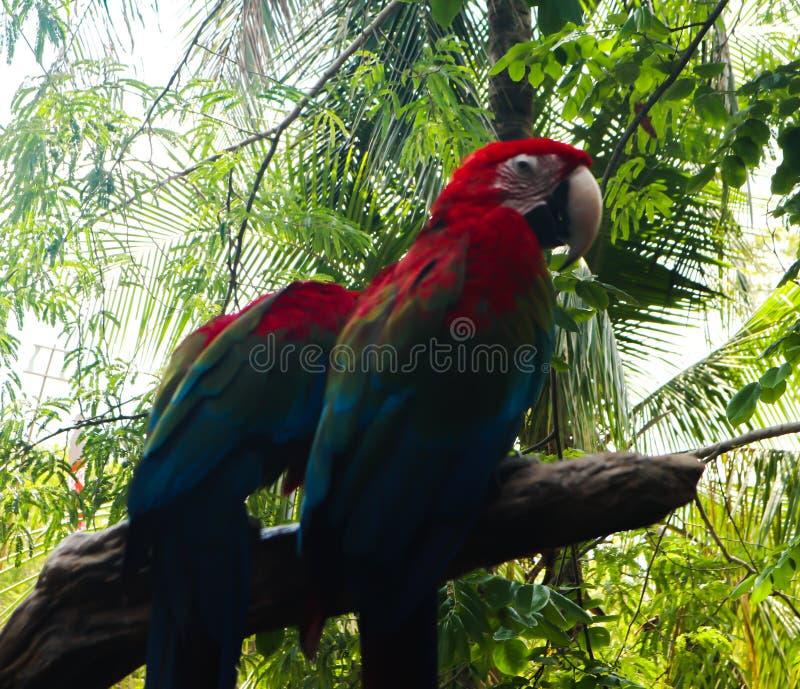 Schöne Nahaufnahme Keilschwanzsittich- und Papageienvögel in den allgemeinen Parks stockbilder