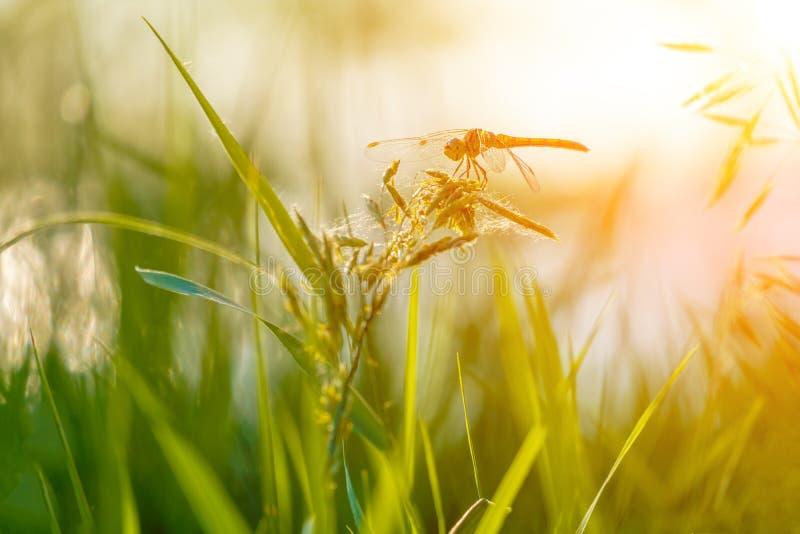 Schöne Nahaufnahmeschattenbildlibelle auf dem Gras im Morgensonnenschein stockfotografie