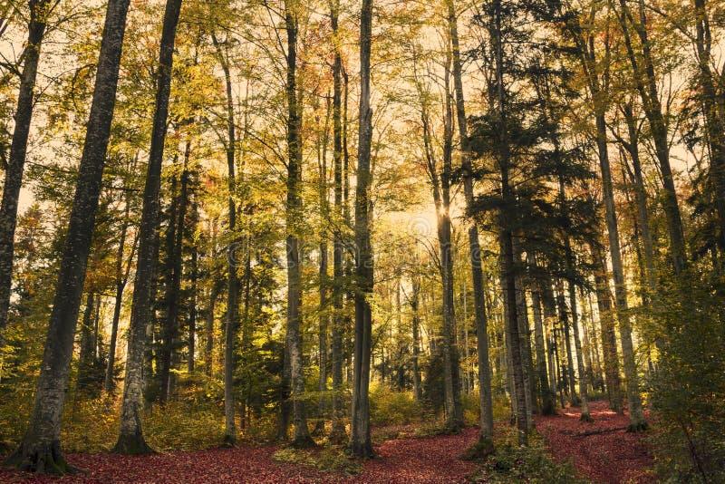 Schöne Natur bei Sonnenuntergang im nebelhaften Herbstwald mit Sonne lizenzfreie stockfotografie