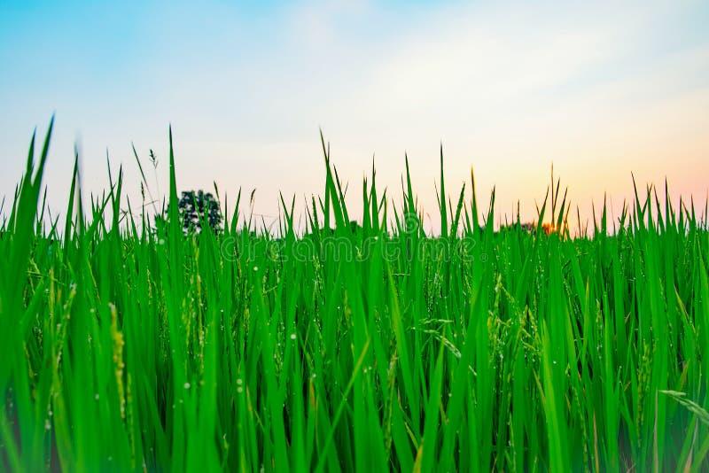 Schöne Natur des Reis-Bauernhofes lizenzfreies stockbild