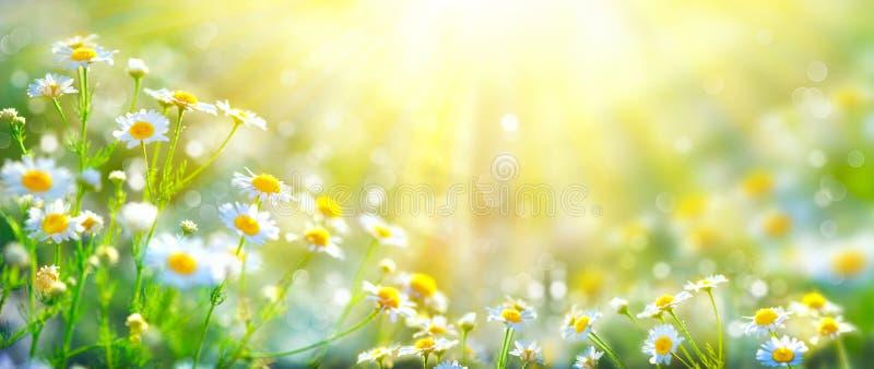Schöne Naturszene mit blühender Kamille stockfotografie