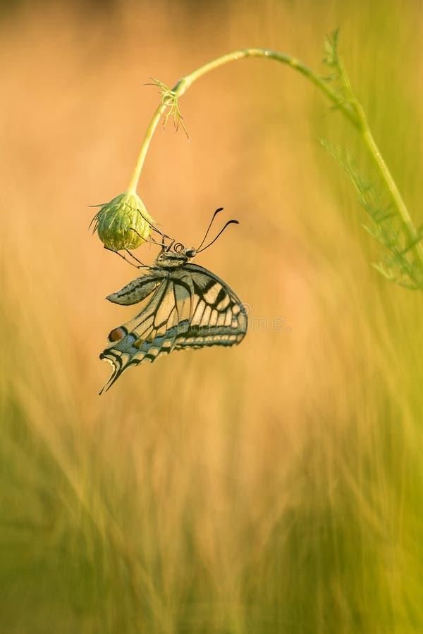 Schöne Naturszene mit machaon Schmetterling Swallowtail Papilio lizenzfreie stockfotos
