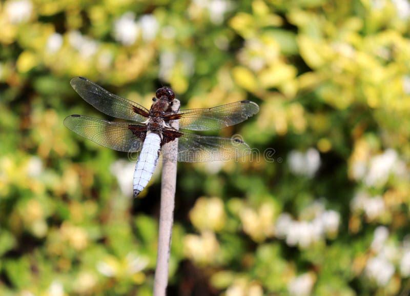 Schöne Naturszene mit Makrobild der Libelle auf Naturlebensraum Insektenkonzept stockbilder