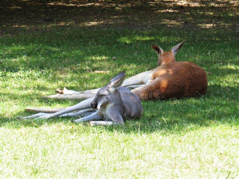 Schöne nette entzückende reizende süße reizend Kängurus, die während heißen Sunny Days stillstehen lizenzfreies stockfoto