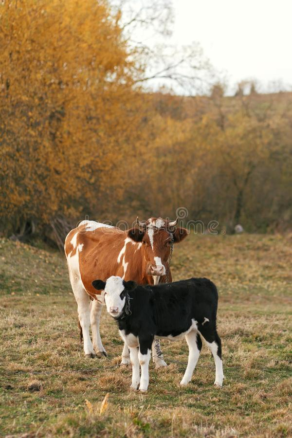 Schöne nette Schwarzweiss-Kalbstellung nahe brauner Kuh und Schauen auf Hintergrund von Herbstbäumen und -feld Mutterkuh mit lizenzfreie stockfotografie
