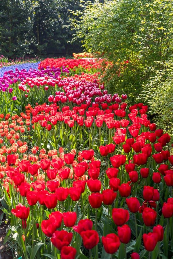 Schöne niederländische Blumen stockbild
