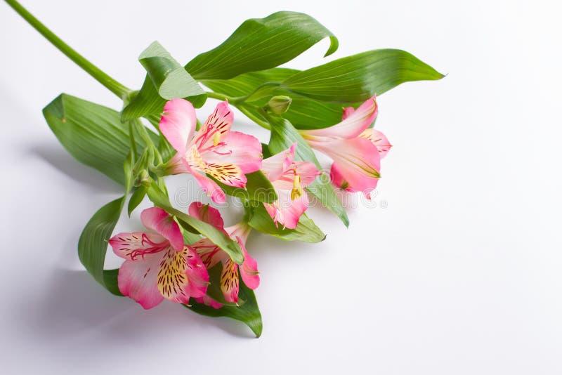 Schöne Niederlassung der rosa Freesie lizenzfreies stockfoto