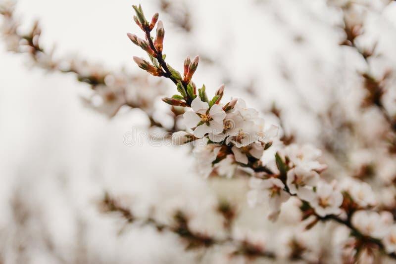 Schöne Niederlassung einer blühenden Kirsche im Frühjahr, unscharfer Hintergrund stockbilder
