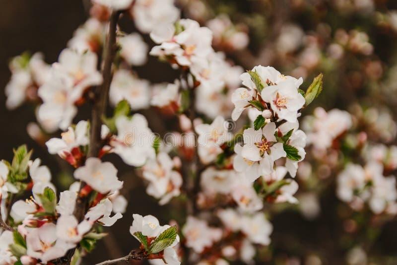 Schöne Niederlassung einer blühenden Kirsche im Frühjahr, unscharfer Hintergrund stockfoto