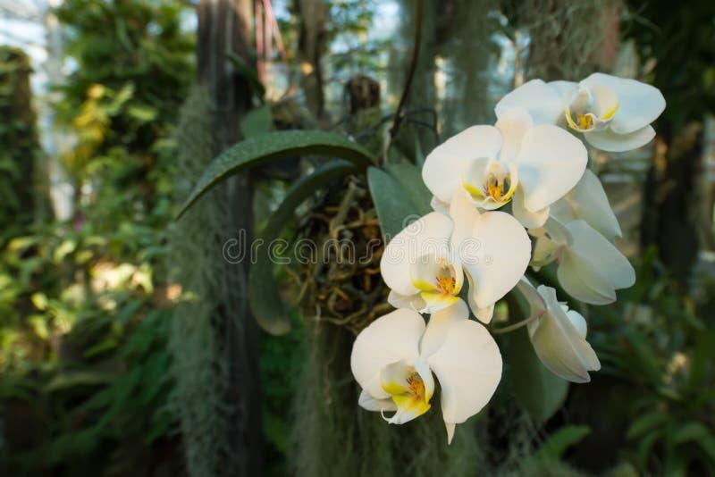 Schöne Niederlassung von weißen Orchideen in einem tropischen Wald stockfoto