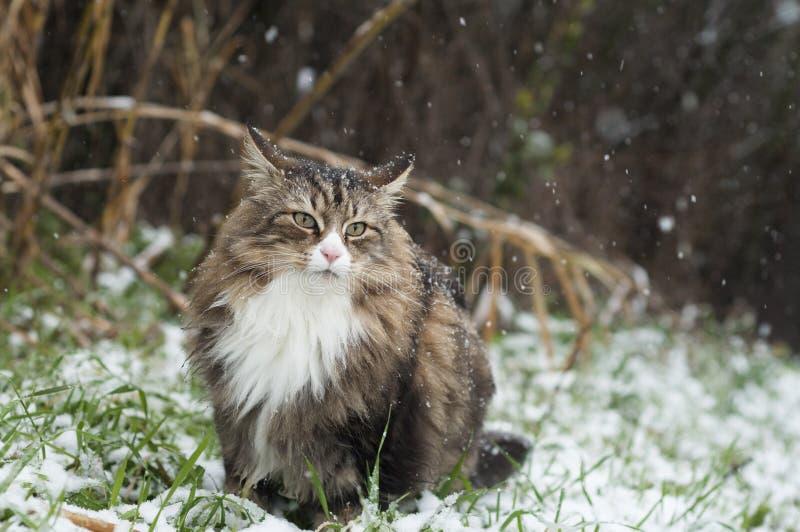 Schöne norwegische Waldkatze auf einem schneebedeckten Feld stockfoto
