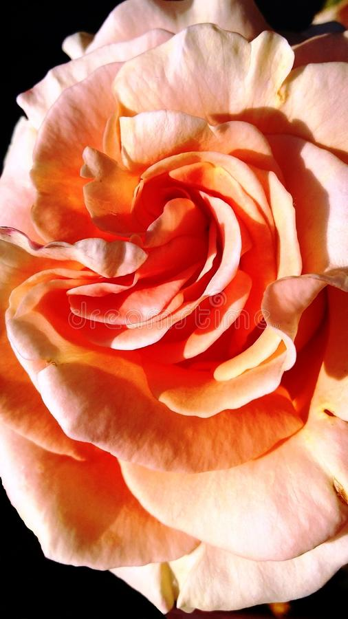 Schöne Orange - Aprikose stieg lizenzfreie stockfotografie