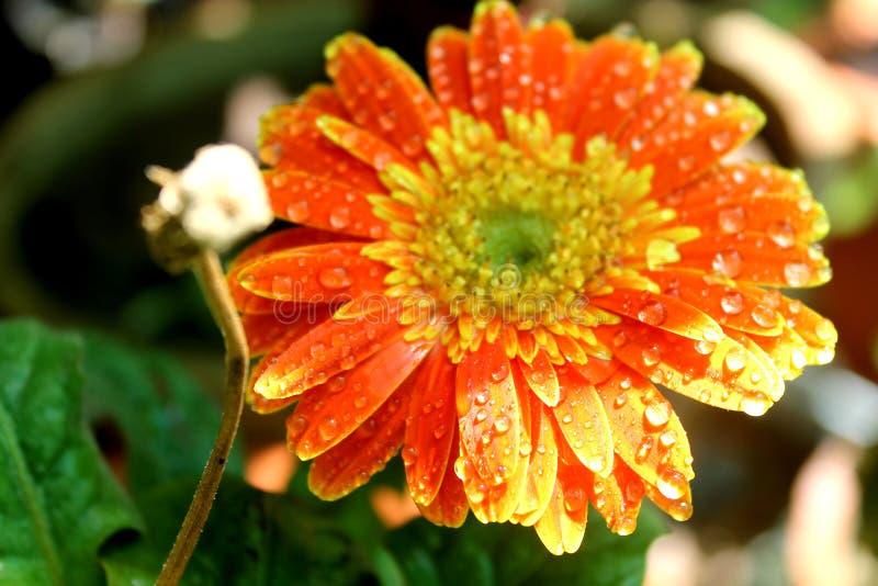 Schöne orange Blume stockbilder