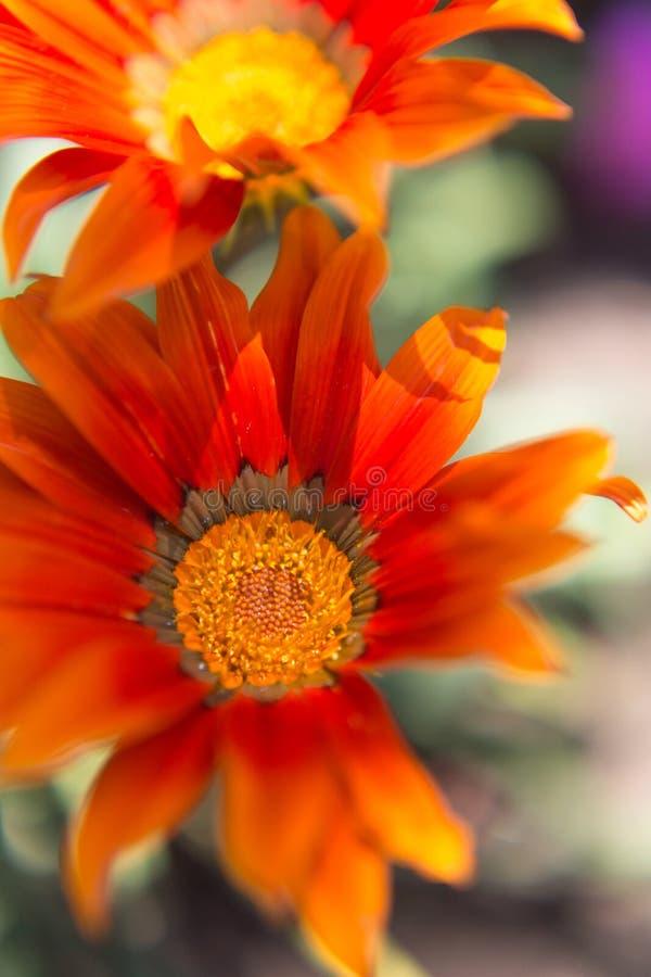 Schöne orange Blume an seiner maximalen Öffnung lizenzfreie stockbilder