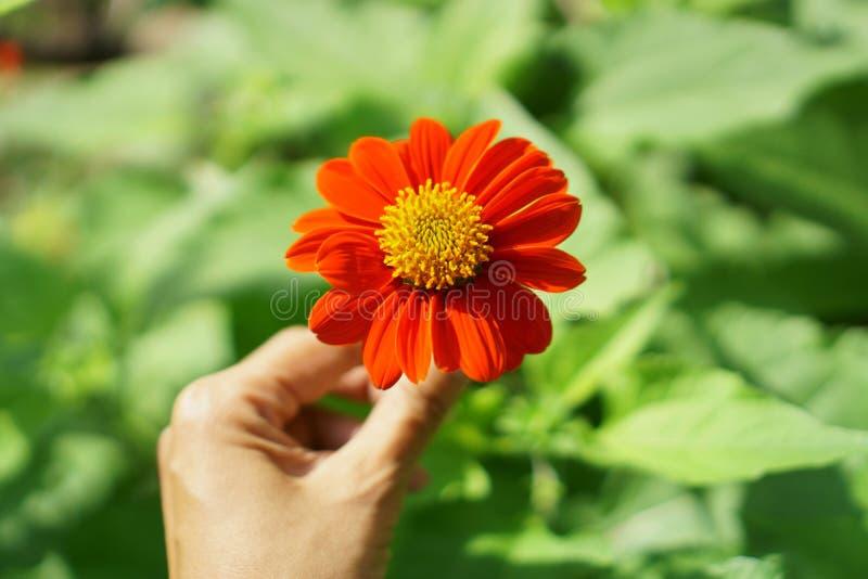 Schöne orange Blumenblätter der mexikanischen Sonnenblume in einer Hand auf unscharfen grünen Blättern stockfoto