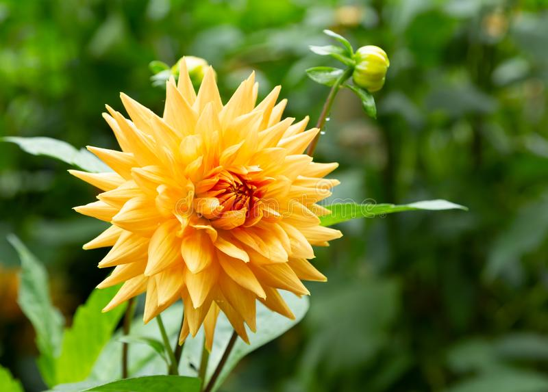 Schöne orange Dahlienblume stockfoto
