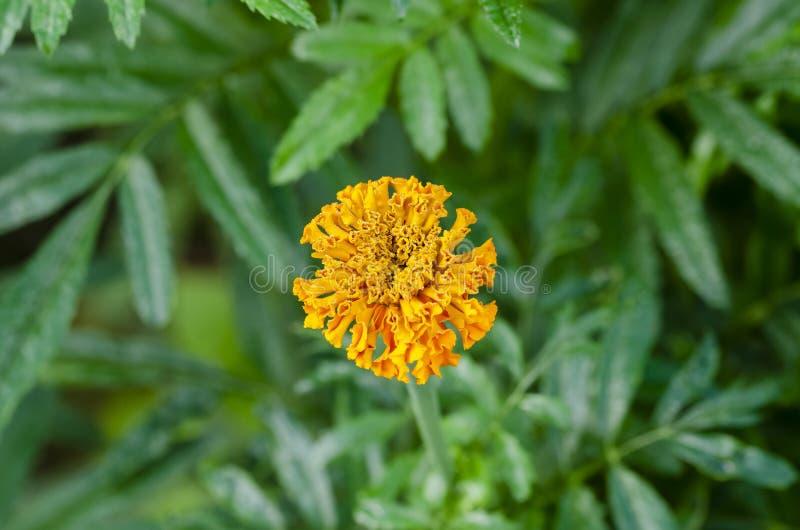 Schöne orange französische Ringelblume im Garten stockfotografie