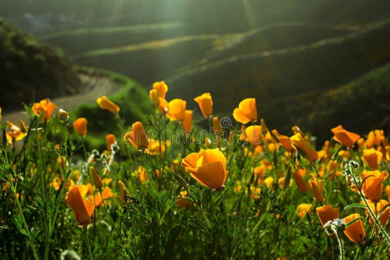 Schöne orange Kalifornien-Mohnblumenblume, die auf einem grünen Gebiet blüht stockbild