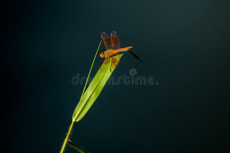 Schöne orange Libelle auf dem Gras in den Sümpfen in der Natur stockbilder