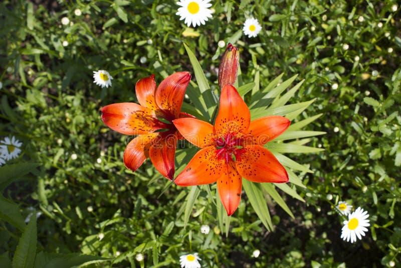 Schöne orange Lilienblumen stockbilder