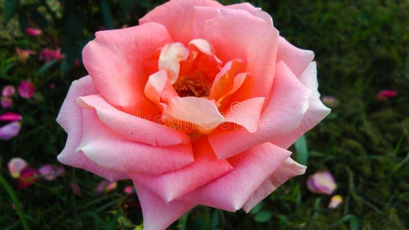Schöne orange Rose mit schönem natürlichem Hintergrund lizenzfreie stockfotos