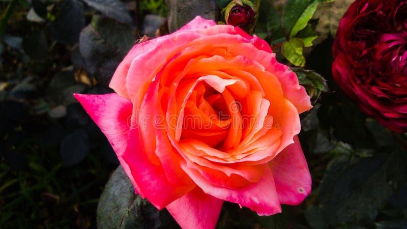 Schöne orange Rose mit schönem natürlichem Hintergrund stockfotografie