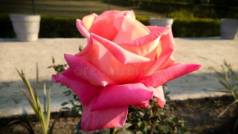 Schöne orange Rose mit schönem natürlichem Hintergrund stockfotos