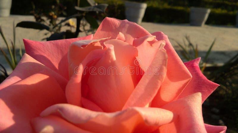 Schöne orange Rose mit schönem natürlichem Hintergrund stockfoto