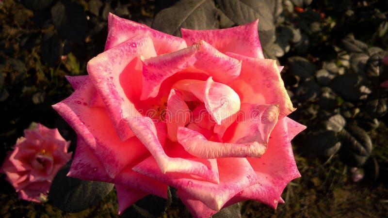 Schöne orange Rose mit schönem natürlichem Hintergrund lizenzfreies stockfoto