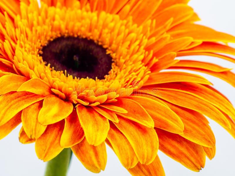 Schöne Orangenblüte in der Nähe lizenzfreie stockfotografie
