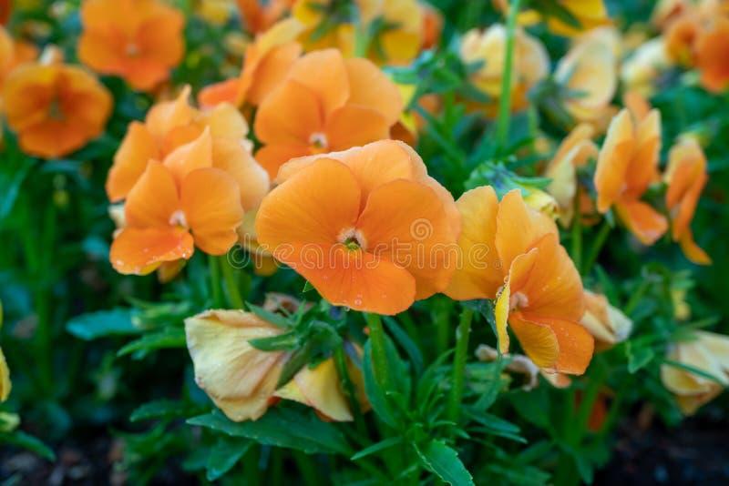 Schöne Orangenblume während der Frühjahrszeit lizenzfreie stockfotografie