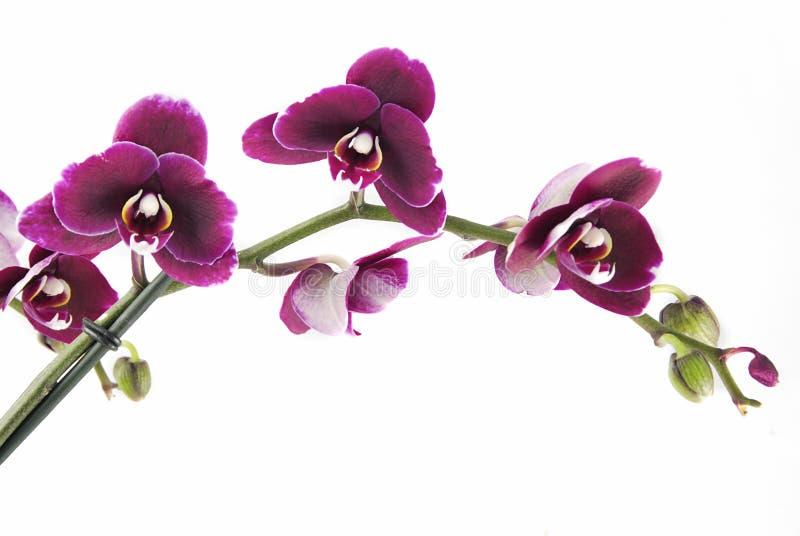 Schöne Orchidee stockbilder
