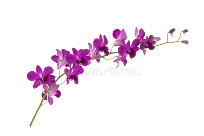 Schöne Orchideen auf weißem Hintergrund stockbild