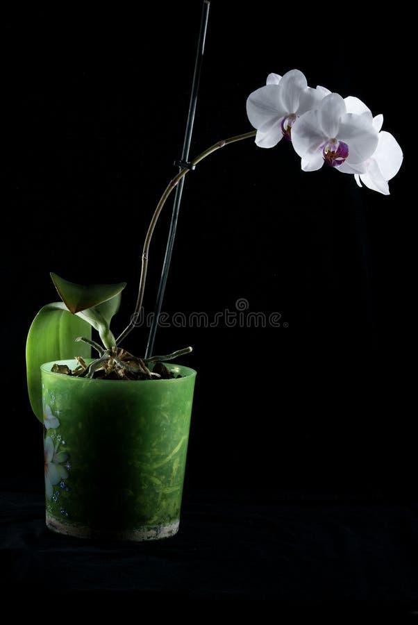 Schöne Orchideen werden auf einem dunklen Hintergrund, Blumen blühten, Orchideen blühten, der Orchidaceae hervorgehoben, grün, sc stockbilder