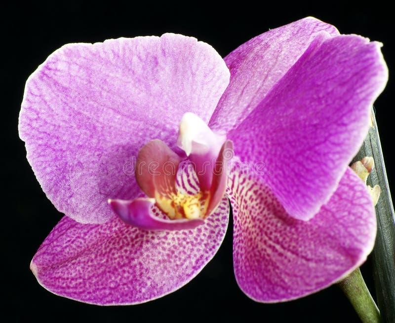 Schöne Orchideen werden auf einem dunklen Hintergrund, Blumen blühten, Orchideen blühten, der Orchidaceae hervorgehoben, grün, sc lizenzfreies stockbild