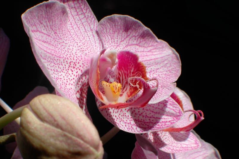 Schöne Orchideenblumen in der Blüte lizenzfreie stockfotos