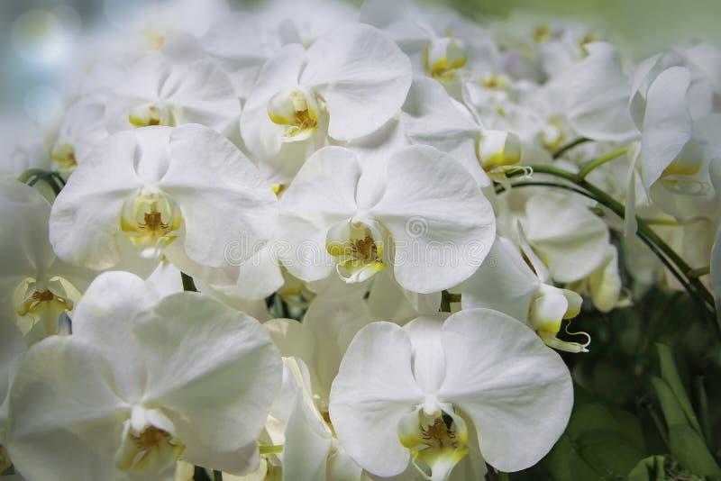 Sch?ne Orchideenblumen im Gew?chshaus Ð-¡ verlieren herauf Ansicht Wei?e leichte Orchideenblumen sind eingelassenes weiches Licht stockfoto