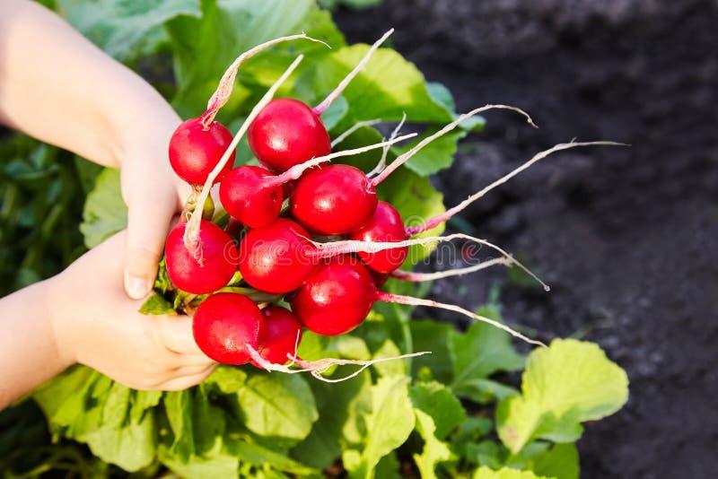 Schöne organische Früchte des roten Rettichs eigenhändig gehalten, lizenzfreie stockfotografie
