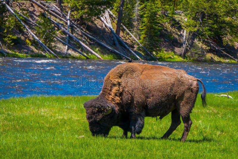Schöne outoor Ansicht des einsamen Büffels weiden lassend neben einem Westfluß in Yellowstone Nationalpark lizenzfreie stockfotografie