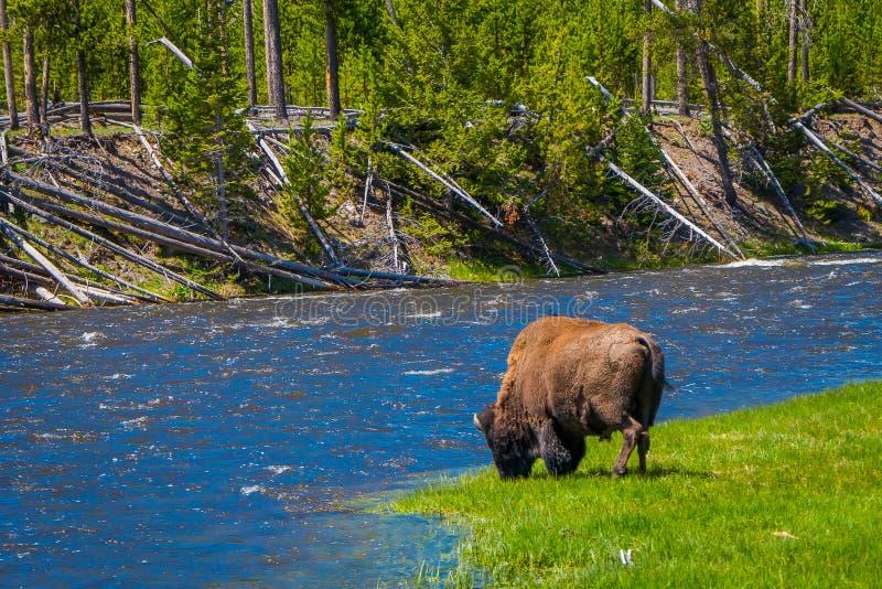 Schöne outoor Ansicht des einsamen Büffels weiden lassend neben einem Westfluß in Yellowstone Nationalpark lizenzfreie stockfotos