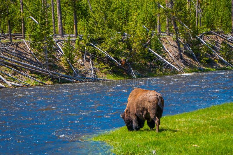 Schöne outoor Ansicht des einsamen Büffels weiden lassend neben einem Westfluß in Yellowstone Nationalpark stockfotografie