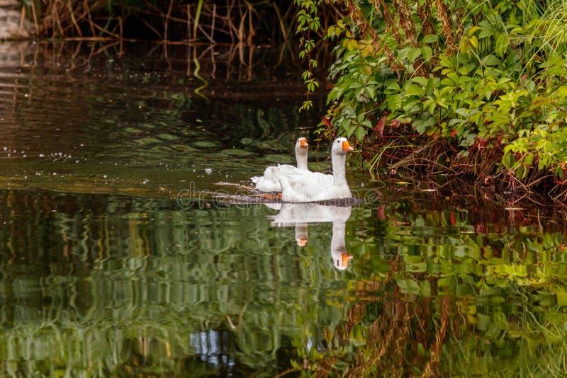 Schöne Paare Gänse, die auf Wasser schwimmen stockfoto