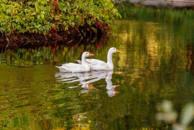 Schöne Paare Gänse, die auf Wasser schwimmen lizenzfreie stockbilder