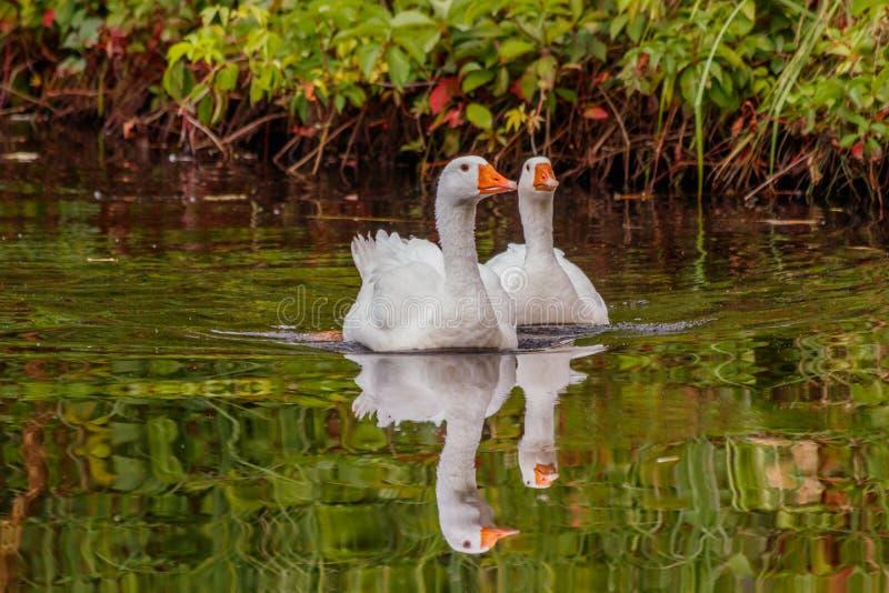 Schöne Paare Gänse, die auf Wasser schwimmen lizenzfreies stockfoto