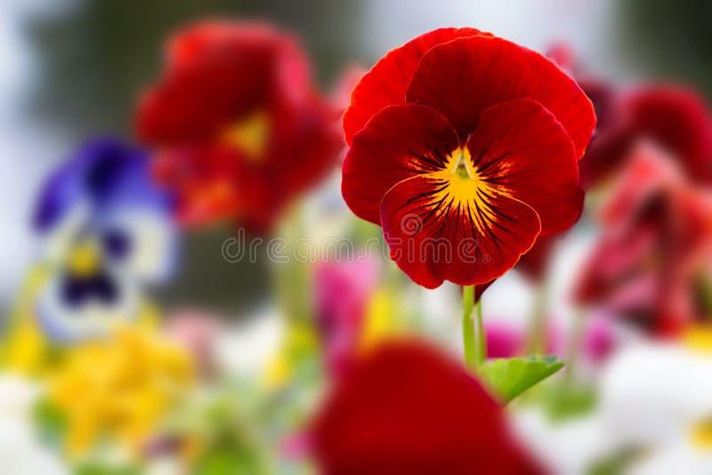 Schöne Pansies im Frühjahr lizenzfreie stockfotografie