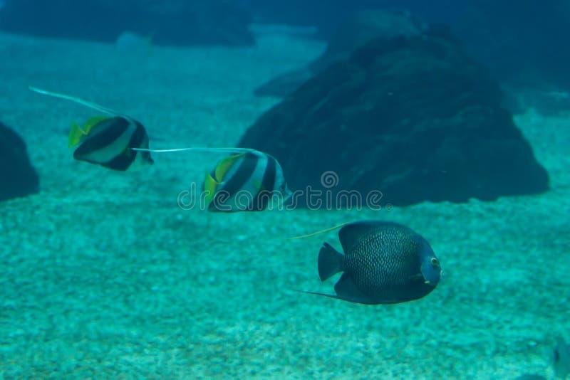 Schöne Pearlscale-Butterflyfishes, Chaetodon-xanthurus nach innen stockfotos