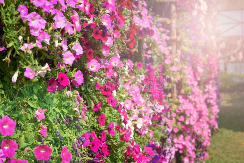 Schöne Petunien-bunte Blume stockbild